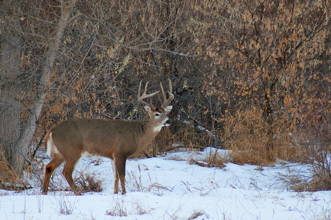 The gallery for --> Monster Whitetail Deer Buck In Snow